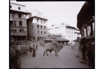 Old Bull, Nepal